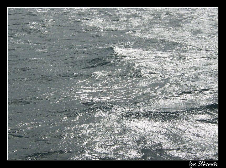 oceangull2
